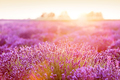 Lavender flower field at sunset. - PhotoDune Item for Sale