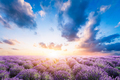 Lavender flower field at sunset - PhotoDune Item for Sale