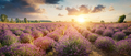 Panorama of lavender flower field at sunset - PhotoDune Item for Sale
