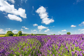 Lavender flower field in full bloom, sunny blue sky - PhotoDune Item for Sale
