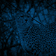 Cheetahs Stand Alert And One Walks Off At Night - VideoHive Item for Sale