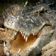 Crocodile Breathing With Mouth Open - VideoHive Item for Sale