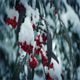 Berry Bushes In Winter With Snow Falling - VideoHive Item for Sale