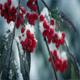 Red Berries On Branch In Snowfall