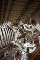 Skeletons of prehistoric animals