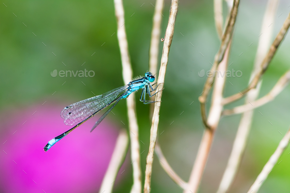 Bluetail damselfly on a twig - Stock Photo - Images