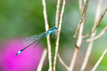 Bluetail damselfly on a twig - PhotoDune Item for Sale
