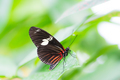 Tropical Passion-vine butterfly - PhotoDune Item for Sale