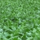Field Land with Beet Sugar Beta Vulgaris Altissima, Leaves in the Wind - VideoHive Item for Sale