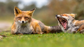 Two European red fox  family members