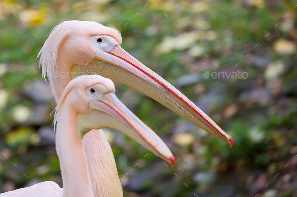 Pelicans, a portrait - Stock Photo - Images