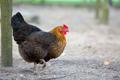 Hen on the farm