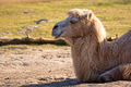 Camel resting in the wild  - PhotoDune Item for Sale
