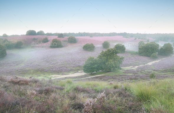 morning fog on hills with flowering ling - Stock Photo - Images