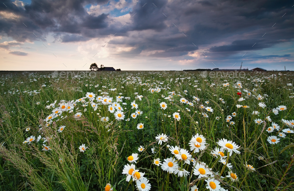 chamomile flower field and cloudy sky - Stock Photo - Images