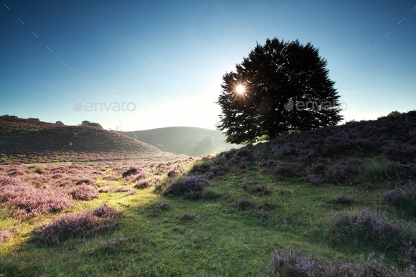 sunbeams through beech tree on hill - Stock Photo - Images