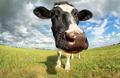 funny cow head via wide angle