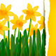 Spring narcissus background with ripped paper - GraphicRiver Item for Sale