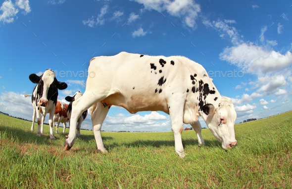 cow grazing on pasture - Stock Photo - Images
