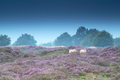 sheep in pink heather