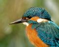 Common Kingfisher'S portrait