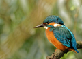 Common Kingfisher in the full sun,sitting on the branch