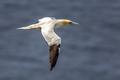 Northern gannet in flight against marine background
