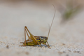 Roesels bush cricket on light sand