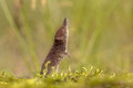 Pygmy shrew looking up in natural environment
