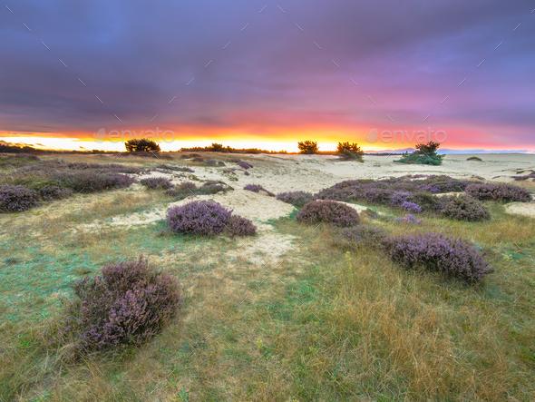 Dots of Heath Hoge Veluwe National Park Holland - Stock Photo - Images