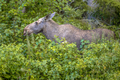 Female moose or elk  foraging on leaves