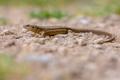 Viviparous lizard on gravel