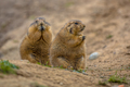Cute prairie dogs  feeding