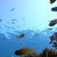 A Flock of Yellowtail Sweeper Fish Pempheris Schenckii in the Blue Water - VideoHive Item for Sale