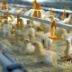 Chickens Inside Modern Chicken Farm Modern Poultry Equipment - VideoHive Item for Sale