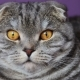 Closer Look of the Scottish Fold Cat on a Purple Background.