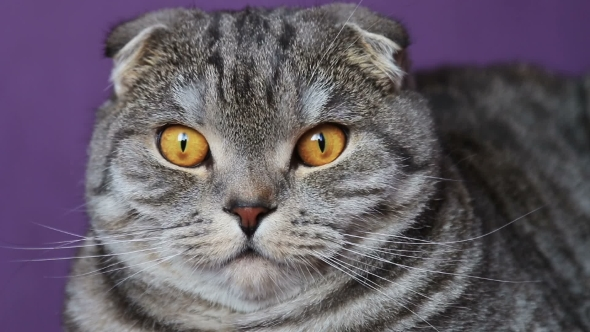 VideoHive Closer Look of the Scottish Fold Cat on a Purple Background 20610608