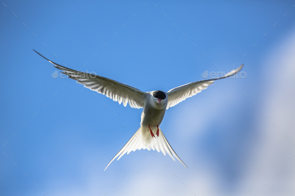 Hovering Arctic tern - Stock Photo - Images