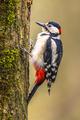 Woodpecker in vertical position