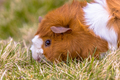 Guinea Pig eating grass in backyard