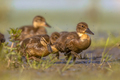 Group of duckling running through grass