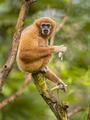 Lar gibbon eating banana on branch in rainforest jungle