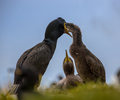 European shag feeding young on nest
