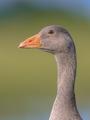 Friendly bird Head of Greylag goose
