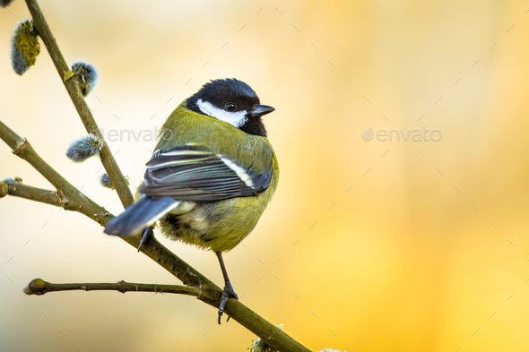 Great tit on pussy willow - Stock Photo - Images