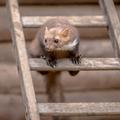 Stone marten sitting on ladder