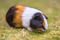 Guinea Pig eating grass of backyard