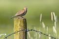 Eurasian skylark on pole in agricultural landscape