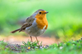 Robin in garden with bright green background