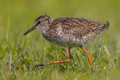Black-tailed Godwit wader bird chick running